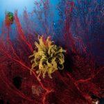 La transplantation corallienne comme solution à la destruction des récifs