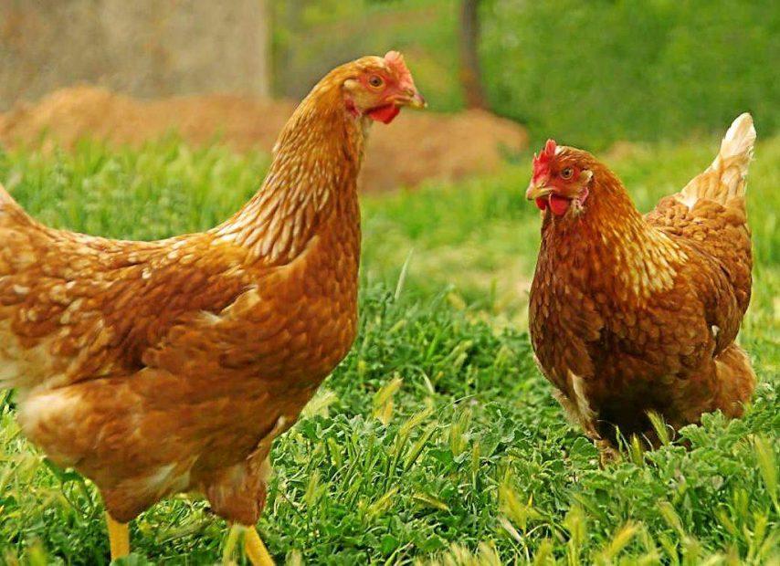 """La mue chez les poules pondeuses: faire """"peau neuve"""" pour démarrer un nouveau cycle de ponte"""