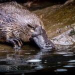 L'ornithorynque : un animal à l'anatomie étrange