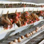 Les œufs en batterie sont ils bons pour la santé ?