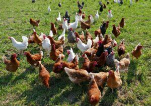 elevage des poules en plein air