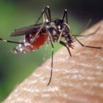 Le moustique : véritable danger pour l'homme
