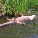 L'alligator, cet animal à l'érection permanente