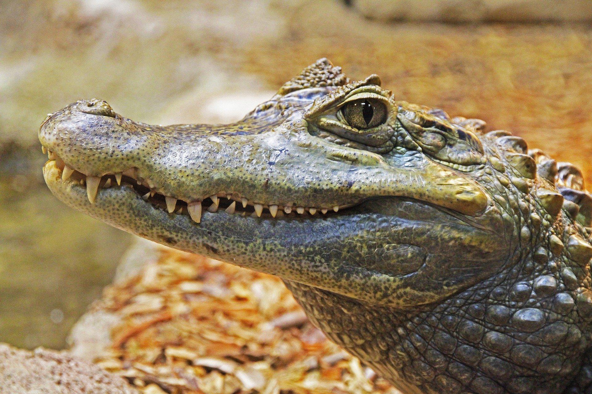 Alligator - crocodilien)