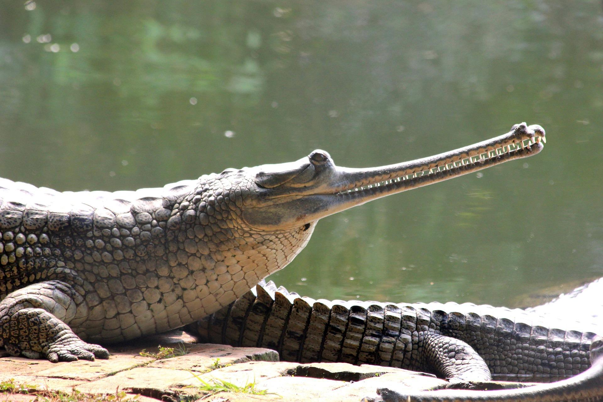 Gavial- (crocodilien)