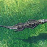 Les Crocodiliens : comment les distinguer ?